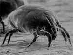 Άκαρι (ηλ. μικροσκόπιο σάρωσης)